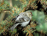 Mealy Redpoll - Carduelis flammea. Confusingly, redpoll classification has changed in recent years. Formerly, both the Mealy Redpoll and the bird now referred to as Lesser Redpoll were treated as races of the Common Redpoll complex; now they are considered to be separate species. But here they are treated as a single entry. The Mealy Redpoll Carduelis flammea is appreciably paler in all plumages than the Lesser Redpoll. Lessers are present here all year (although many migrate to mainland Europe in winter). Mealys are exclusively winter visitors, from N Europe.
