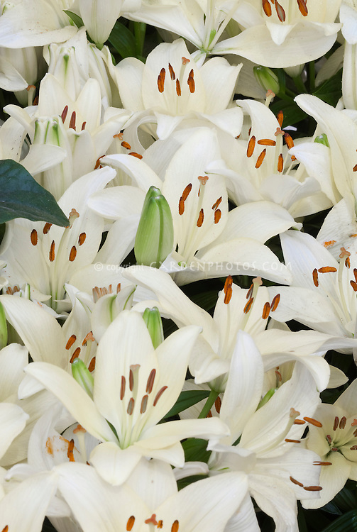 Lilium New Wave Asiatic white lilies