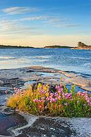 Blommande gräslök på en klippa i Stockholms skärgård