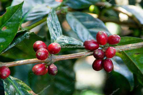 Coffee Beans on Plant, Coffea arabica; Orongo, Pichincha Province, Ecuador