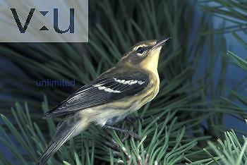 Blackburnian Warbler female
