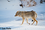 Coyote in winter. Yellowstone National Park, Montana.