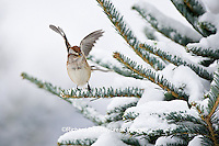 01588-00903 American Tree Sparrow (Spizella arborea) in fir tree in winter, Marion Co., IL
