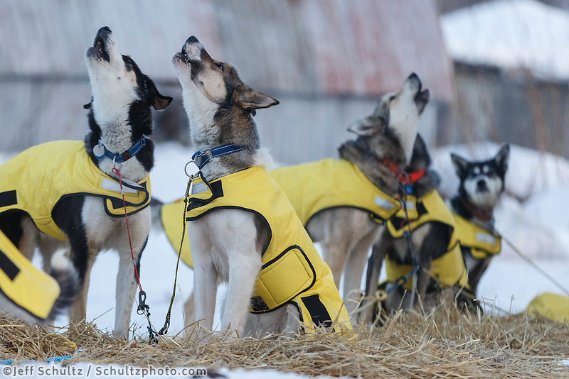 Mats Pettersson dogs howl during their 24 hour layver at the Takotna checkpoint, Thursday March 6, during the Iditarod Sled Dog Race 2014.<br />