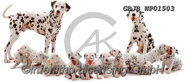 Kim, ANIMALS, REALISTISCHE TIERE, ANIMALES REALISTICOS, fondless, photos,+Dalmatian family.,dalmatian, family, patterns, shapes, dogs, pets, animals, puppies, pups, families, spots, black-and-white,+white background+++,GBJBWP01503,#a#, EVERYDAY