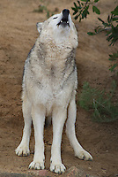 694920024 a captive female gray wolf lair canis lupus at the wildlife waystation wildlife recovery and care facility in southern california