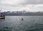 le 24 Aout 2013, observation de Baleines au large de la ville de Husavik en islande. the 24th august 2013, Observation of the whales at Husavik in iceland.
