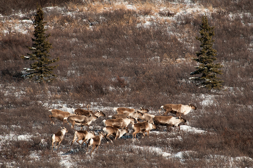 Caribou in Denali N.P. (Denali heard) moving eastward until spring.