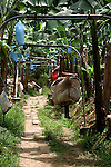 A banana plantation field work rides the plantation above ground system to cut bananas..Costa Rica, Del Monte, bananas, plantation, rail system, tropics, Caribbean