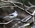 Ortonized image of a Tufted Titmouse. Smoky Mountain photos by Gordon and Jan Brugman.