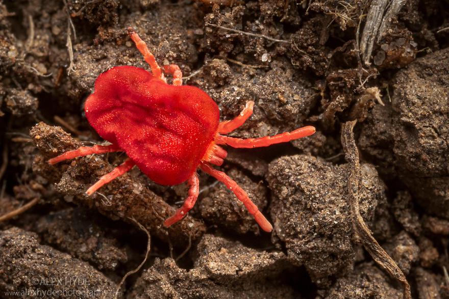 Red Velvet Mite (Trombidium holosericeum) running across soil where it hunts smaller invertebrates. Peak District National Park, Derbyshire, UK. April.