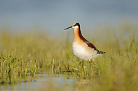 Adult female Wilson's Phalarope (Phalaropus tricolor) in breeding plumage. Southeast Alberta, Canada. May.