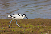 Pied avocet (Recurvirostra avosetta) Patrolling it's breeding territory on a small island. The Avocet colonised Britain when coastal marshes in East Anglia were flooded to provide a defence against possible invasion by the Germans.