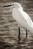 USA, California, close-up of snowy egret, Richardson Bay, Tiburon