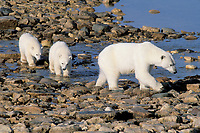 polar bears, Ursus maritimus, mother with first year cubs, Churchill, Manitoba, Canada, Arctic, polar bear, Ursus maritimus