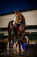 HALLANDALE BEACH, FL - JAN 27: California Chrome gets a bath at Gulfstream Park Race Course on January 27, 2017 in Hallandale Beach, Florida. (Photo by Alex Evers/Eclipse Sportswire/Getty Images)