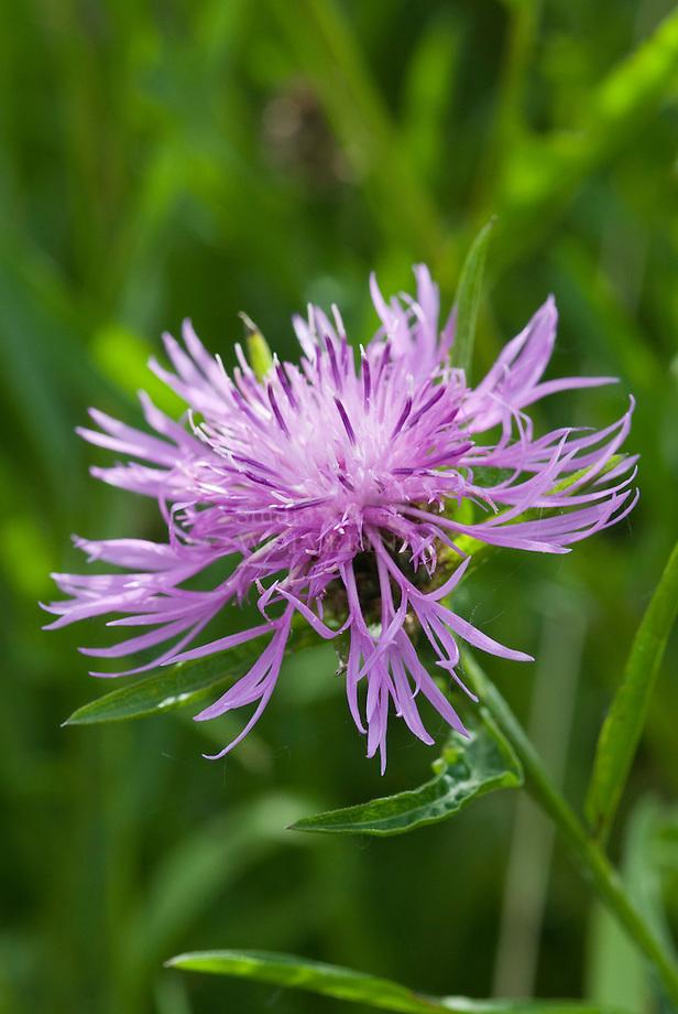 Grote centaurie (Centaurea scabiosa)