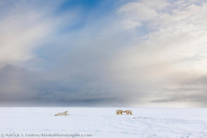 Polar bears on a barrier island along the Beaufort Sea, arctic, Alaska.