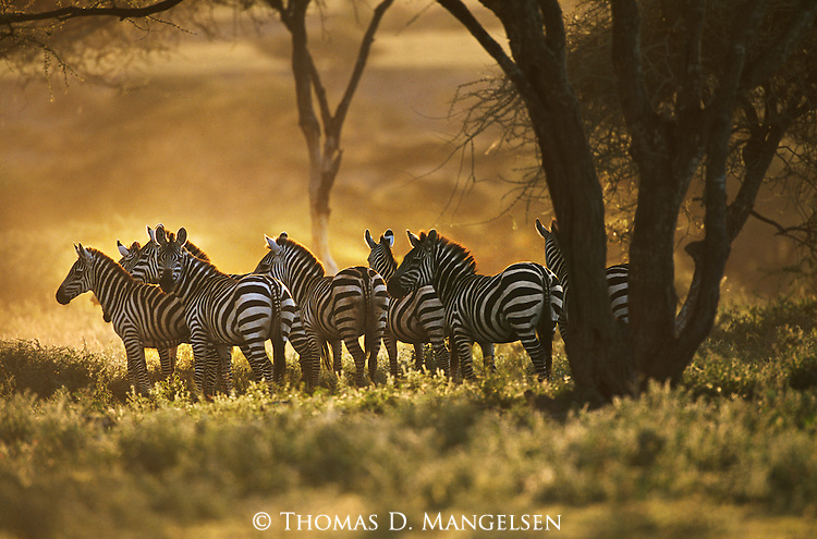 A herd of Burchell's zebras stand in the shade of Acacia trees in Serengeti National Park, Tanzania.