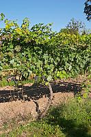Vines. Domaine des Baumard, Rochefort, Anjou, Loire, France