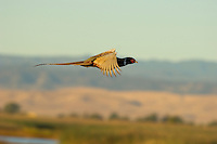 Ring-necked Pheasant (Phasianus colchicus) in flight. Western U.S.