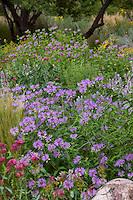 Monarda fistulosa (Wild Bergamot) flowering in low water New Mexico meadow garden
