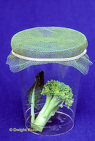 BW03-002a  Experiment -   Cabbage White Butterfly caterpillars - Pieris rapae - What parts of broccoli does it like best?.
