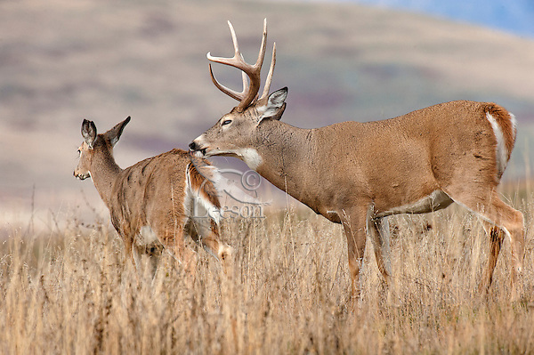 White-tailed Deer Buck (Odocoileus virginianus) with doe during late fall rut.  Montana.  November.