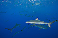 RM0766-D. Silky Sharks (Carcharhinus falciformis), dozens gathered together to feed on small fish in baitball. Baja, Mexico, Pacific Ocean. <br /> Photo Copyright &copy; Brandon Cole. All rights reserved worldwide.  www.brandoncole.com