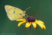 Orange Sulphur butterfly, Cades Cove, Great Smoky Mountains National Park, Tennessee