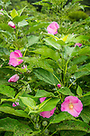 Rose mallow (Hibiscus moscheutos ssp. palustris)  at the Arnold Arboretum in Jamaica Plain, Boston, Massachusetts, USA