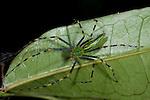 Malagasy Green Lynx Spider, Peucetia madagascariensis, Palmarium, Ankanin'ny Nofy, Madagascar