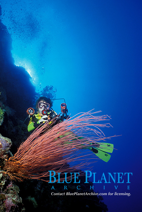 diver and red sea whips or gorgonian soft coral, Ellisella sp., Palau (Belau), Micronesia (Western Pacific Ocean)