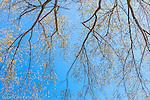 An American Elm in spring in Cambridge, Massachusetts, USA