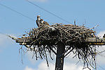 Osprey and chick in nest on power pole
