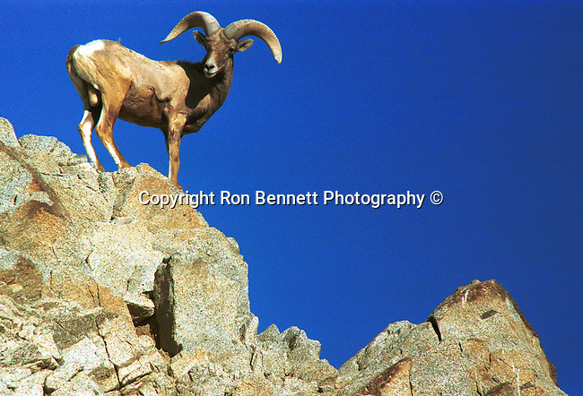 Bighorn sheep, ovis canadensis, sheep, Bering land bridge, Native Americans, Dall Sheep, Animal, Sierra Nevada Bighorn sheep, Peninsular Bighorn Sheep, Animal, wild animals, domestic animals,  Fine Art Photography, Ronald T. Bennett (c), Bighorn Sheep Fine Art Photography by Ron Bennett, Fine Art, Fine Art photography, Art Photography, Copyright RonBennettPhotography.com ©