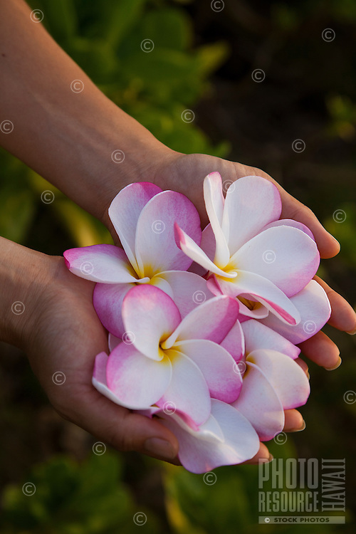 Pair of hands holding pink and white plumerias