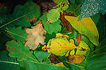 Two Malaysian Leaf Insects disapppear on the forest floor, disguised as decomposing leaves, Sarawak, Malaysia