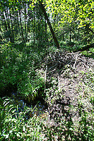Europäischer Biber, Burg eines Bibers, Biberburg in einem bachbegleitenden Auwald, Biber-Burg, Altwelt-Biber, Castor fiber, Eurasian beaver, European beaver, Castor d´Europe