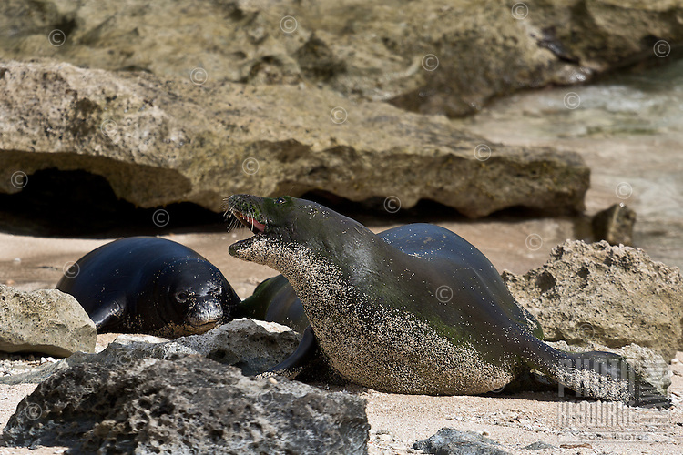 Mother and daughter Hawaiian monk seals on a quiet beach in Hawai'i.