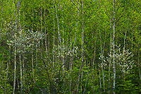 Cherry blossoms in spring. Boreal forest<br />