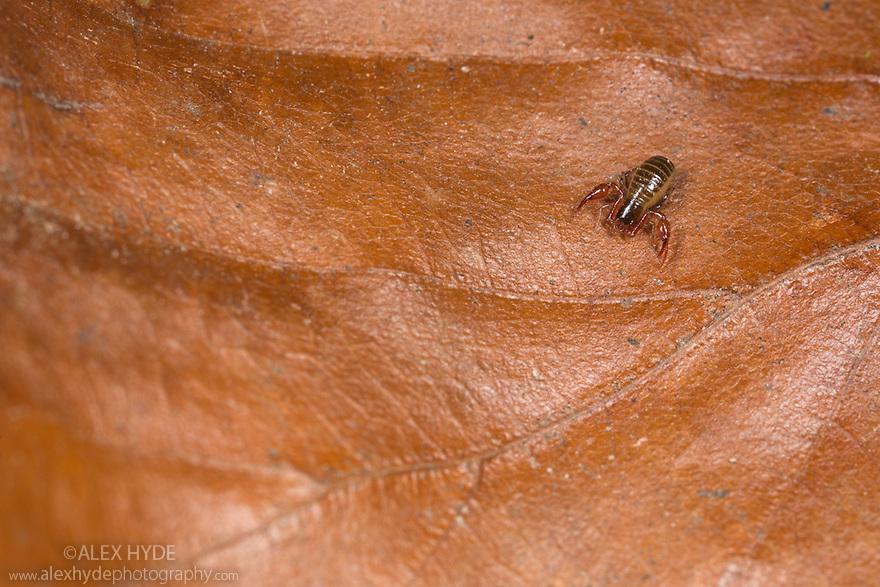 Pseudoscorpion {Neobisium muscorum} found in leaf litter. Derbyshire, UK. April.