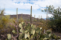 Saguaro and Engelman's prickly pear cactus stand with other vegetation in the hills of Saguaro National Park West (Tucson Mountain District) near Tucson, Arizona, USA.