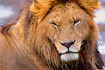 Portrait of a male African lion resting during the heat of the day in Maasai Mara Game Reserve, Kenya.