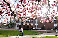 Japanese magnolia tree blossom near Colvard Union.<br />