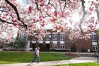 Japanese magnolia tree blossom near Colvard Union.<br />  (photo by Megan Bean / &copy; Mississippi State University)