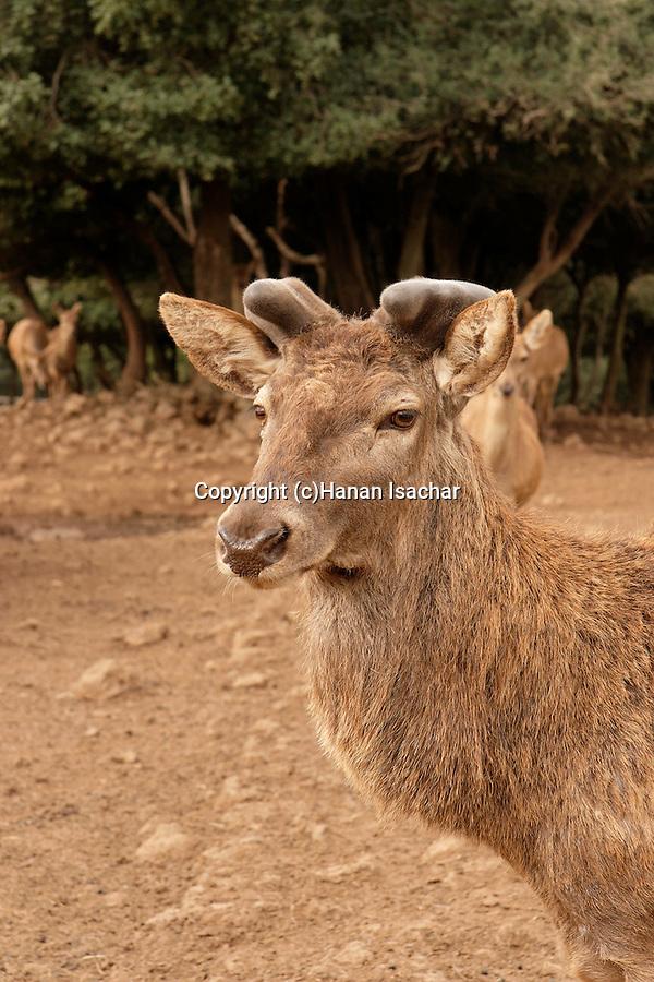 Golan Heights. Odem Deer Forest
