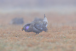 Male sharp-tailed grouse dancing on a lek in Namekagon Barrens (Danbury, Wisconsin).