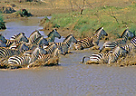 Herd of Zebras spooked by sight or scent of lions just over a nearby ridge. The crossing is  along an arm of the Mbalageti River in the Serengeti Plains