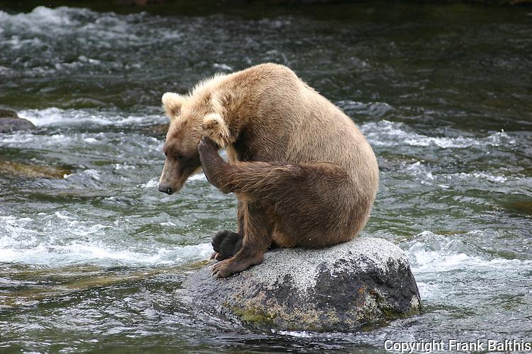 Alaska brown bear on rock